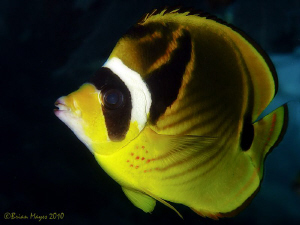 The 'Zorro' of Butterflyfish. ;-) by Brian Mayes