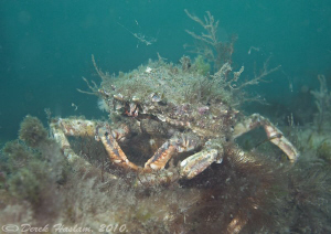 Spiny spider crab. D3, 16mm. by Derek Haslam
