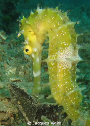 Baby seahorse by Jacques Vieira
