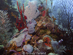 The Aquarium dive site off Long Caye, Belize by Rickey Ferand