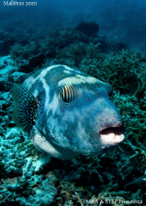 Pufferfish. Canon G10. by Bea & Stef Primatesta
