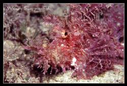 Weedy Scorpionfish.Nikon F100,105mm,f13,1/60,YS-120,RVP100. by Allen Lee