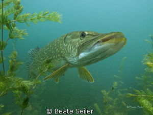 Northern pike taken with Canon G10 , no flash by Beate Seiler
