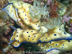 The tiny shrimp catching a ride on the skirts of this Nud... by Paul Duxfield