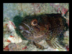My first hairy blenny lol by Durand Gerald