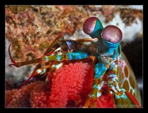 Mantis shrimp with eggs by Aleksandr Marinicev