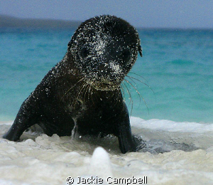 Baby sea lion. Mum had gone fishing and this little baby... by Jackie Campbell