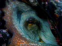 Octopus! by Elia Correia