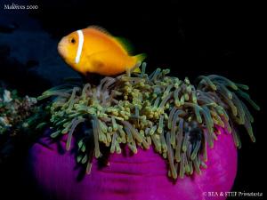 Clownfish. Canon G10. by Bea & Stef Primatesta