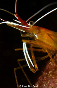 This shrimp reminded me of a snooty maitre'd at a fancy r... by Paul Duxfield