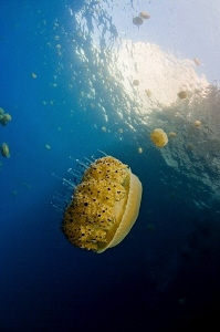 Jellyfish off the island og Gozo, near Malta.  10-17mm le... by Paul Colley
