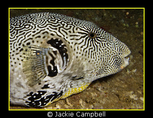 Puffer portrait. Night dive in the Maldives. Canon G9 an... by Jackie Campbell