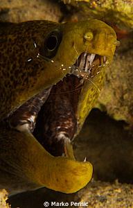 Undulated Moray. Gymnothonax undulatus by Marko Perisic