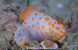 Colourful critter ! Nikon D2x 60mm lens manual exposure, ... by Richard Swann