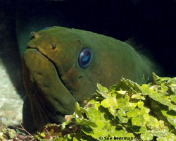Green Moray Eel just chillin' by Susan Beerman