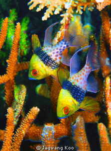 Pajama Cardinal Fish/ 