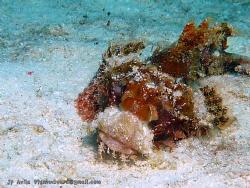 nice scorpionfish by John Paul Avila
