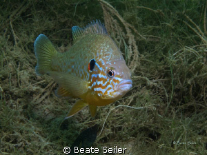 Pumpkinseed Sunfish in one of my favorite lake , taken wi... by Beate Seiler