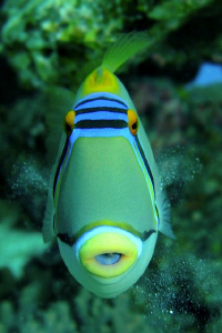 A Picasso Triggerfish blowing sand from his gills.  60mm ... by Paul Colley