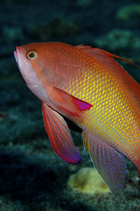 A shot of a male Anthias taken at night on the wreck of t... by Paul Colley