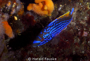 Picture of a blåstål (laptrus mixtus) by Harald Fauske