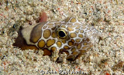 This snake eel, after I took this picture, sprung out of ... by John Paul Avila
