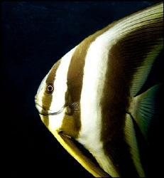 Juvenile batfish profile by Thomas Dinesen