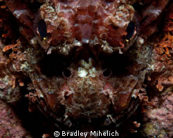 A close up of a scorpion fish.  
