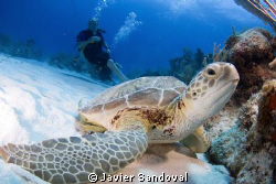 green turtle and diver Akumal Mexico by Javier Sandoval