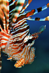 A Lionfish hunting over a Red Sea reef.  60mm AF Macro le... by Paul Colley