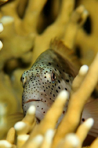 Hawkfish hiding among fire coral. by Paul Colley