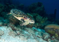 Going down! Young Hawksbill turtle racing down the slope... by Maryke Kolenousky
