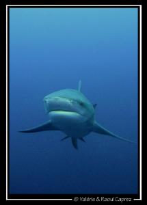 Zambezi shark approaching ... by Raoul Caprez