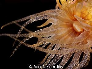 Night Princess ( Polycyathus ). Night dive shot. Original... by Rico Besserdich