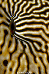 Up close and personal with a beautiful mapped pufferfish,... by Michael Gallagher