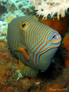 Orange-Lined Triggerfish (Balistapus undulatus) by Brian Mayes