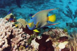 Queen Angelfish with juvenile Rock Beauty. Cozumel. by Jacques Miller