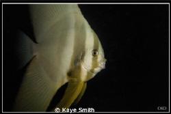 Curious Mr Bat Fish. Taken at Racha Yai Wreck. Canon G9 by Kaye Smith