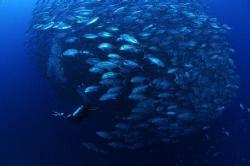 A diver is about to enter a huge school of Jacks. Taken i... by Steve De Neef
