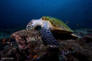 Hawksbill Turtle by Jon Kreider