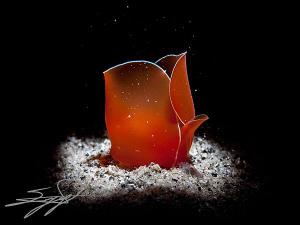 Like A Rose (Gastropteron Rubrum) by Nicholas Samaras