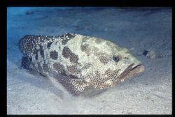 jack fish halley reef, sharm el sheik sinai egypt by Marco Zanini