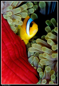 Red anemone and anemonefish up close and personal... by Dray Van Beeck