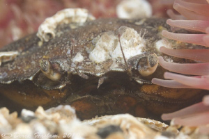 Shore crab. North Wales. D3, 105mm. by Derek Haslam
