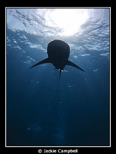 Silky shark silouette.