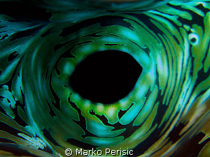 Fluted Giant Clam. Tridacna squamosa by Marko Perisic