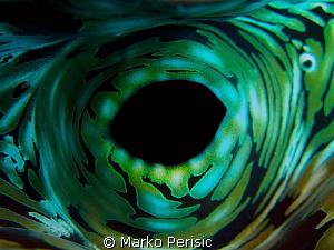 Fluted Giant Clam. Tridacna squamosa by Marko Perisic