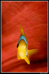 Red anemone and anemonefish up close and personal-II... by Dray Van Beeck