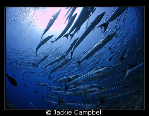 Barracuda, Barracuda, Barracuda.....spinning and dancing ... by Jackie Campbell