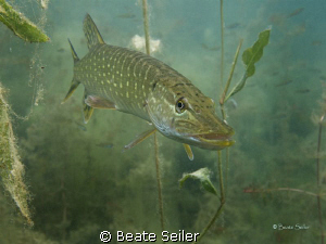 Northern pike , taken with Canon G10 , natural light by Beate Seiler